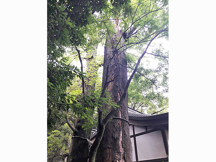 Holy Zelkova Trees at Hikawa Shrine